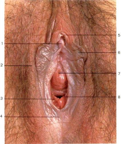 Photograph of a virgin female's genital area
